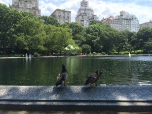 ducks at the sailboat pond in central park